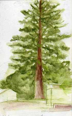 redwood in Dimond park